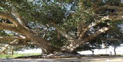درخت انجیر معابد - چابهار